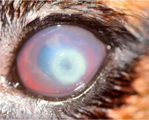 Ulcera cornial pseudomonas