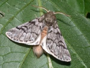 Thaumetopoea pityocampa (mâle)