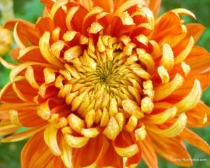 chrysanthemum-orange-1280x1024